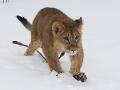 Снежный лев на охоте