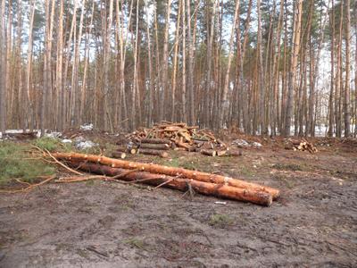 Уничтожают-лес-SAM_0160